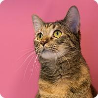 Adopt A Pet :: Pebbles - Houston, TX