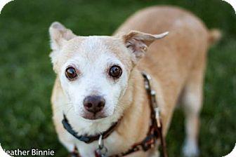Chihuahua Mix Dog for adoption in Tucson, Arizona - Cosmos