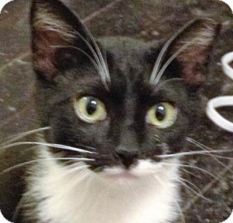 Domestic Mediumhair Cat for adoption in O'Fallon, Missouri - Mr. Tuck
