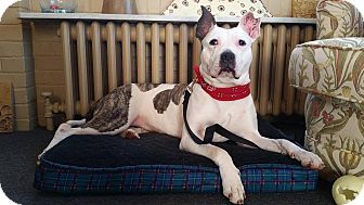 American Pit Bull Terrier Mix Dog for adoption in West Allis, Wisconsin - Twiggy