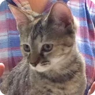 Domestic Shorthair Cat for adoption in Fairfax, Virginia - Shaky Puddin (CH)