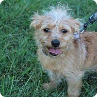 Adopt A Pet :: Bandit - Waldorf, MD