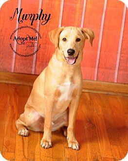 Labrador Retriever Mix Puppy for adoption in Topeka, Kansas - Murphy