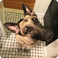 Adopt A Pet :: Blaze - Morrisville, NC