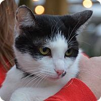 American Shorthair Cat for adoption in Hopkinsville, Kentucky - Dot