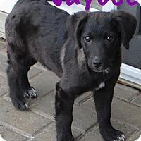 Adopt A Pet :: Jaycee - Fort Wayne, IN