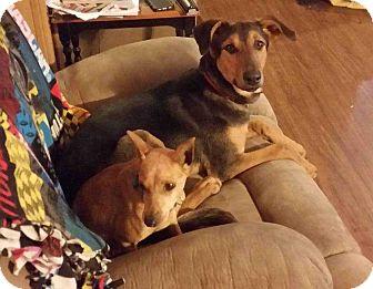 Doberman Pinscher/German Shepherd Dog Mix Puppy for adoption in Richmond, Kentucky - Gina