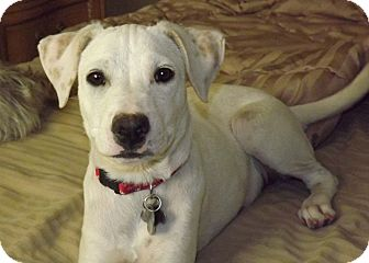 Labrador Retriever Jack Russell Terrier Mix Dog for adoption in    Yellow Lab Jack Russell Mix