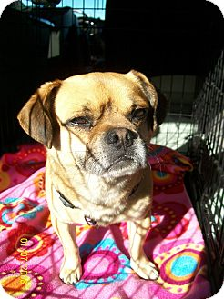 Pug/Beagle Mix Dog for adoption in Poway, California - Roscoe