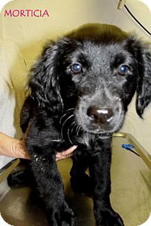 Spaniel (Unknown Type) Mix Puppy for adoption in Silsbee, Texas - Morticia