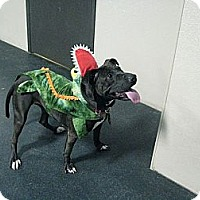 Adopt A Pet :: Mia FOSTER NEEDED!! - Birmingham, MI