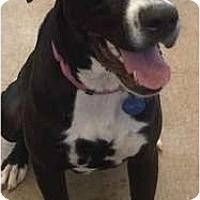 Adopt A Pet :: Violet - Arlington, TX