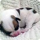 Adopt A Pet :: Lilac's Pup Lorenzo