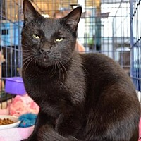 Domestic Shorthair Cat for adoption in Houston, Texas - Teddy