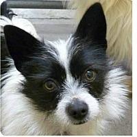Adopt A Pet :: Valentine - Springdale, AR