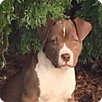 Adopt A Pet :: VELVET - Murray, UT