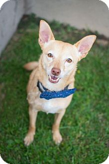 Chihuahua Mix Dog for adoption in Baltimore, Maryland - Pasta