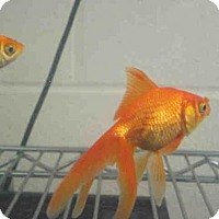Adopt A Pet :: GOLDFISH - Upper Marlboro, MD
