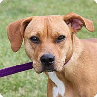 Adopt A Pet :: Blondie - Westminster, MD