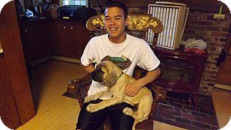 English Mastiff Dog for adoption in Sudbury, Massachusetts - WALTER