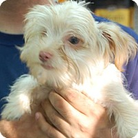 Adopt A Pet :: Nico - Brooklyn, NY