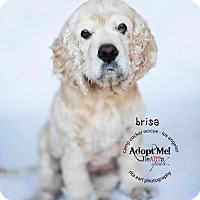 Adopt A Pet :: Brisa - Sherman Oaks, CA