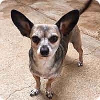 Dachshund/Chihuahua Mix Dog for adoption in Santa Ana, California - Princess (ARSG)