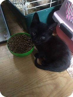 Domestic Mediumhair Kitten for adoption in Flint, Michigan - Poe