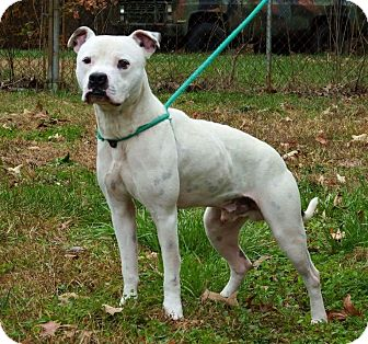 American Bulldog Mix Dog for adoption in Greensboro, North Carolina - SPOT