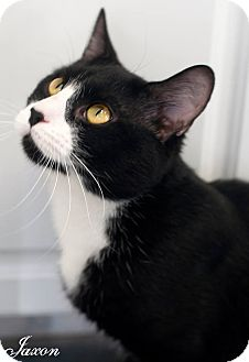 Domestic Shorthair Cat for adoption in Manahawkin, New Jersey - Jaxon
