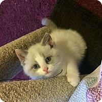 Adopt A Pet :: Milka - Montreal, QC