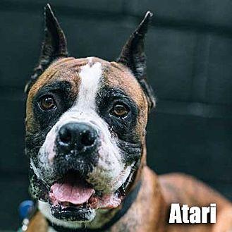 Boxer Dog for adoption in Encino, California - Atari