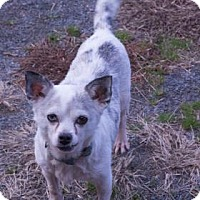 Chihuahua Mix Dog for adoption in Fairfax, Virginia - Jack
