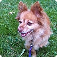 Adopt A Pet :: Bodie - Seattle, WA