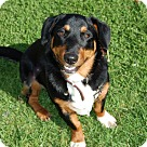 Adopt A Pet :: Noogie