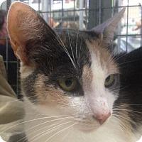 Adopt A Pet :: Arcee - Redwood City, CA