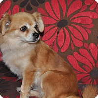 Adopt A Pet :: Lilly - Tumwater, WA