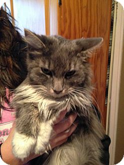 Domestic Longhair Cat for adoption in Rockford, Illinois - Jewels