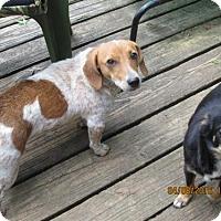 Adopt A Pet :: Daisy - Williston Park, NY