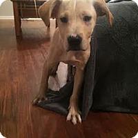 Adopt A Pet :: Antoine - Houston, TX