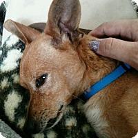 Adopt A Pet :: Scooby - Cerritos, CA