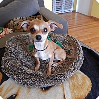 Adopt A Pet :: Cinnamon - Studio City, CA