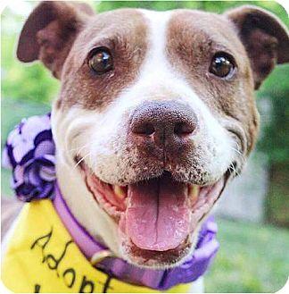 Pit Bull Terrier Mix Dog for adoption in Nashville, Tennessee - Loretta Lynn
