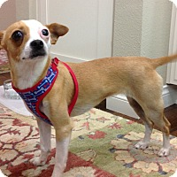 Chihuahua/Jack Russell Terrier Mix Puppy for adoption in Cerritos, California - Marley