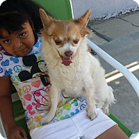 Papillon/Chihuahua Mix Dog for adoption in Fullerton, California - Star