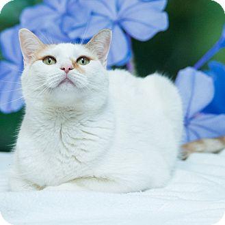 Domestic Shorthair Cat for adoption in Houston, Texas - Antonella