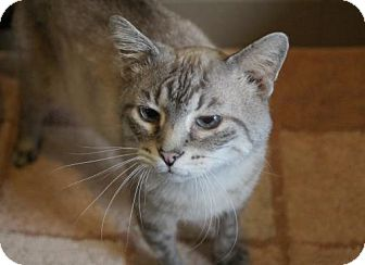 Domestic Shorthair Cat for adoption in Versailles, Kentucky - DiCaprio