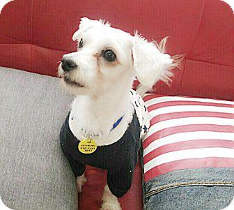 Maltese/Poodle (Miniature) Mix Dog for adoption in Fairfax, Virginia - Lori