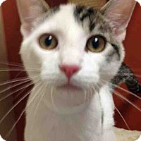 Domestic Shorthair Cat for adoption in Oswego, Illinois - ADOPTED!!!   Lilo
