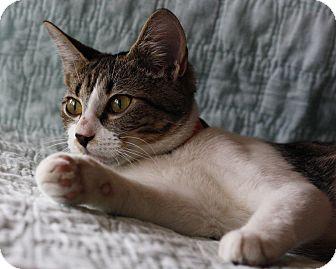 Domestic Shorthair Kitten for adoption in Mayflower, Arkansas - Hailey